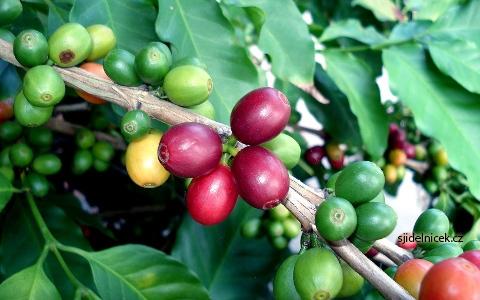 Zelená káva 4